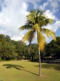 Kokosnussbaum Stockbild