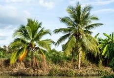 Kokosnussbaum Lizenzfreies Stockbild