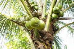 Kokosnussbaum Stockfoto