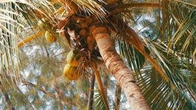 Kokosnussbaum auf Strand Große grüne Kokosnüsse auf einem Palmeabschluß herauf Ansicht von unterhalb stock video