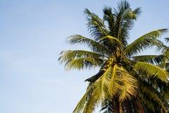 Kokosnussbaum im Garten Lizenzfreies Stockbild
