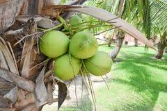 Kokosnussbaum im Garten Lizenzfreie Stockbilder