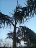 Kokosnussbaum Indien Stockfoto