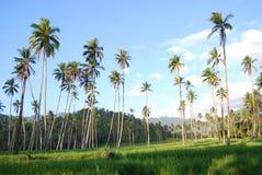 Kokosnussbaum Kotamobagu Stockbilder