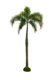 Kokosnussbaum lokalisiert auf weißem Hintergrund stockbild