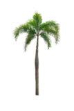 Kokosnussbaum lokalisiert auf weißem Hintergrund Stockbilder