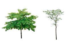 Kokosnussbaum lokalisiert auf weißem Hintergrund lizenzfreies stockfoto