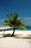 Kokosnussbaum mit Anlegestellehintergrund Stockbilder