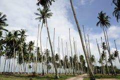 Kokosnussbaum mit blauem Himmel stockfotografie