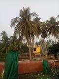 Kokosnussbaum mit Früchten lizenzfreie stockfotos