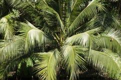 Kokosnussbaum mit Grün verlässt Kokosnuss Stockbild