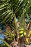 Kokosnussbaum mit Hintergrund des blauen Himmels Stockbild