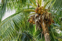 Kokosnussbaum mit Kokosnussfrüchten Stockfoto