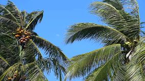 Kokosnussbaum mit starkem Wind stock video