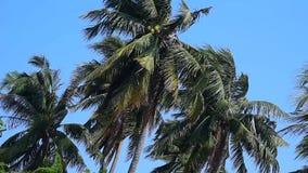 Kokosnussbaum mit starkem Wind stock footage