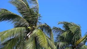 Kokosnussbaum mit starkem Wind stock video footage