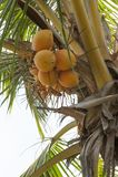 Kokosnussbaum in Sri Lanka Asien lizenzfreies stockfoto