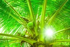 Kokosnussbaum und das Sonnenlicht Stockfotos