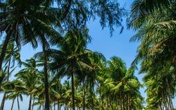 Kokosnussbaum und -himmel Stockfoto
