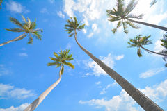 Kokosnussbaum unter blauem Himmel Stockfotos