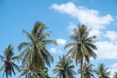 Kokosnussbaum unter blauem Himmel Stockfoto