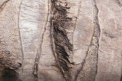 Kokosnussbaumbeschaffenheit Stockbild