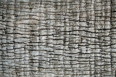 Kokosnussbaumbeschaffenheit Stockfotografie