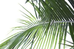 Kokosnussbaumblätter stockbilder