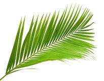 Kokosnussblätter oder Kokosnusswedel, grünes plam verlässt, das tropische Laub, das auf weißem Hintergrund mit Beschneidungspfad  stockbilder