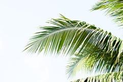 Kokosnussblätter Lizenzfreie Stockbilder