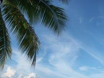 Kokosnussblätter auf dem Himmelhintergrund Stockbild