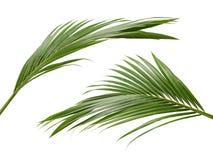 Kokosnussblätter oder Kokosnusswedel, grünes plam verlässt, das tropische Laub, das auf weißem Hintergrund mit Beschneidungspfad  lizenzfreie stockbilder