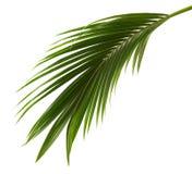 Kokosnussblätter oder Kokosnusswedel, grünes plam verlässt, das tropische Laub, das auf weißem Hintergrund mit Beschneidungspfad  stockfotografie