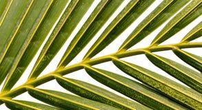 Kokosnussblatt stockbilder