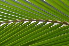 Kokosnussblattgrün stockfotos