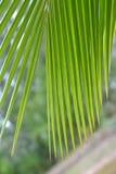 Kokosnussblattgrün lizenzfreie stockfotografie