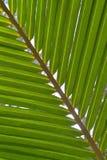 Kokosnussblattgrün lizenzfreie stockbilder