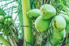 Kokosnussfrüchte auf einer Palmenniederlassung lizenzfreie stockbilder