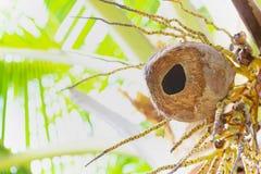 Kokosnussfrucht mit dem kleinen runden Loch gemacht durch Eichhörnchen Das Nest des Eichhörnchens lizenzfreies stockbild