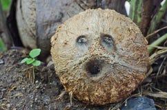 Kokosnussgesicht Stockfoto