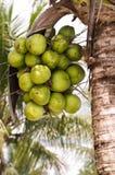 Kokosnussgruppe auf KokosnussPalme Lizenzfreies Stockfoto