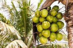 Kokosnussgruppe auf KokosnussPalme Stockbilder