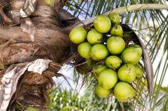 Kokosnussgruppe auf KokosnussPalme Lizenzfreies Stockbild
