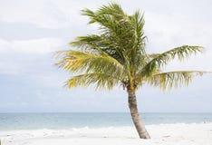 Kokosnusspalme Lizenzfreies Stockbild