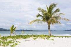 Kokosnusspalme stockbild