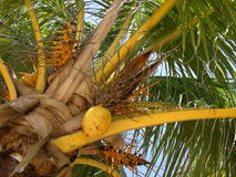 Kokosnusspalme Lizenzfreie Stockfotos