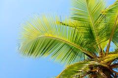 KokosnussPalme auf blauem sauberem Himmelhintergrund lizenzfreie stockfotografie