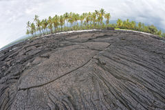 KokosnussPalme auf hawaiischem schwarzem Lavaufer Stockfotografie