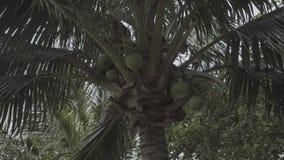 KokosnussPalme, die mit dem Wind beeinflußt stock video