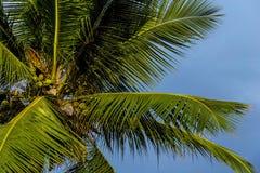 KokosnussPalme mit unausgereiften Kokosnüssen stockfotografie